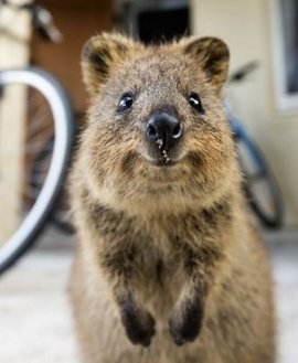 所属类别 :   动物   动物  短尾矮袋鼠(学名: setonix brachyurus).