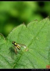 坚挺金苍蝇是什么_金苍蝇_360百科