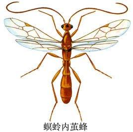 螟蛉内茧蜂