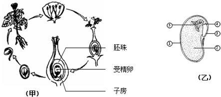 图为大豆种子和幼苗结构示意图,请填空:(1)在大豆种子中, [] 是新植物