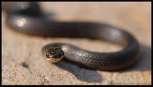 环颈蛇_360百科