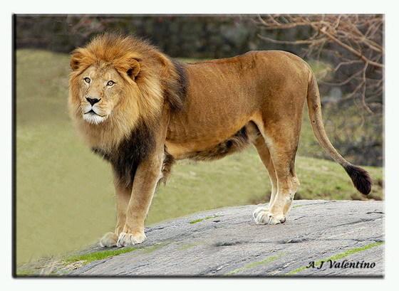 壁纸 动物 狮子 桌面 560_409