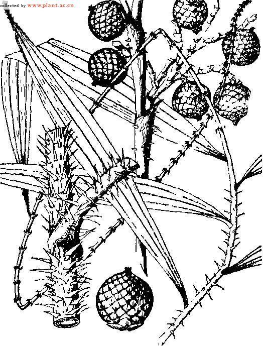 【药名】:省藤 【别名】:红藤,赤藤 【拉丁植物动物矿物名】:daemon