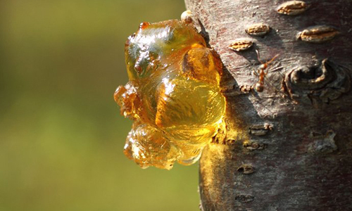 有种东西烂在树上没人要,却是治胃痛最好的食物 - 上海云儿 - 一万年太久,只争朝夕。