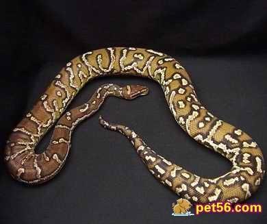 繁殖方面,安哥拉蟒属于卵生动物,雌蛇每次能诞下4至5枚蛇卵,但雌蛇