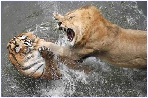 壁纸 动物 猫科 狮子 桌面 500_333