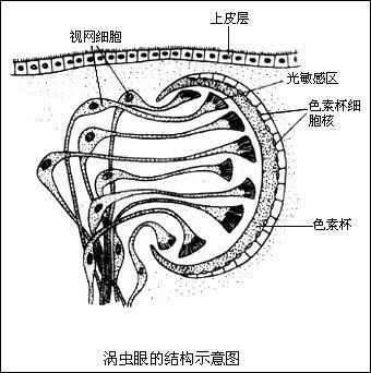 扁形动物的神经系统比腔肠动物有了显著地进步