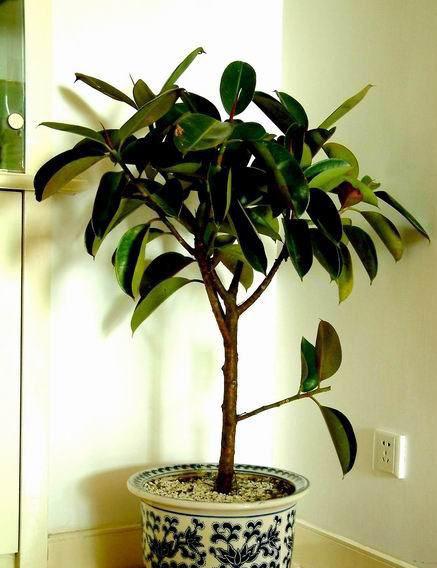 因此橡皮树是很多热带爱好者家里喜欢养殖的一种绿色